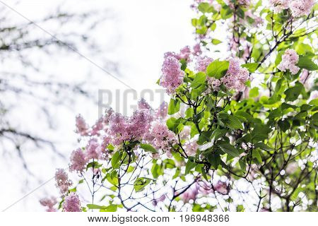 Pink And Purple Lilac Flowers On Tree During Rainy Wet Day Isolated Against Sky