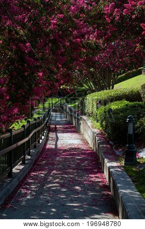 Augusta Riverwalk path with flowering shrubs and pedals