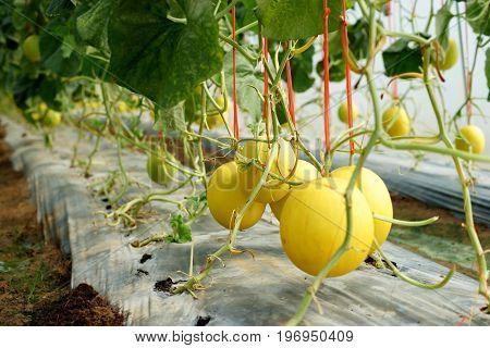 Honeydew Melon In Organic Farm