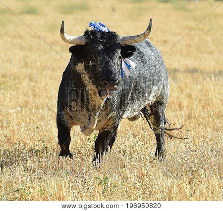 bull in spain with big horns in bullring