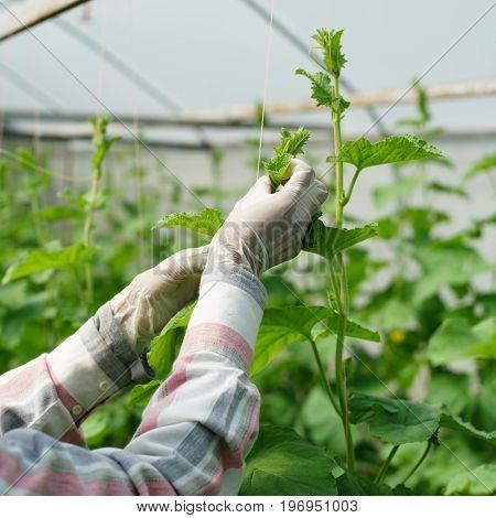Gardener Is Planting Honeydew Melon Trees