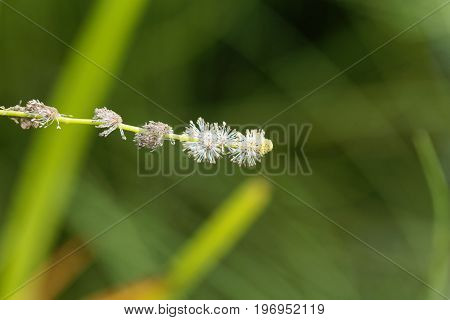 Macro photo of a branched bur reed Sparganium erectum.