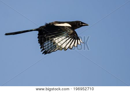 Black-Billed Magpie Flying in a Blue Sky