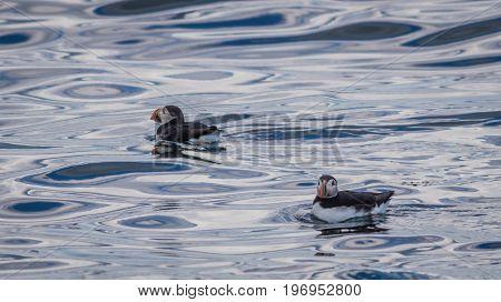 Atlantic Puffins (Fratercula arctica) float in a colorful blue sea