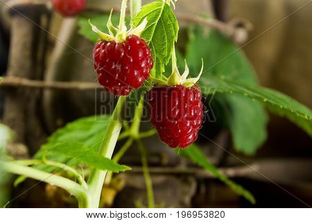 Raspberries on a branch on a rural background