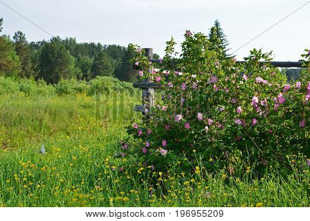 Summer landscape with tree wooden fence and blossoming flowers of a dogrose.