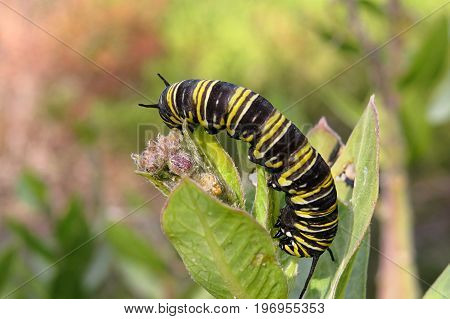 Monarch butterfly caterpillar grub resting on a shrub in Australian bushland