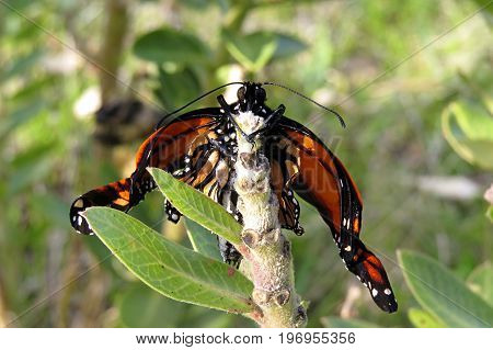 Newly emerged Monarch butterfly resting on a branch in an Australian park waiting for wings to dry