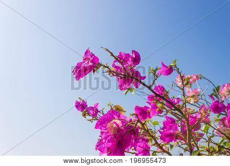 Pink Bougainvillea flower on blue sky background. Pink Red Bougainvillea. Beautiful Bougainvillea flower. Bougainvillea for design. Pink flower on blue sky