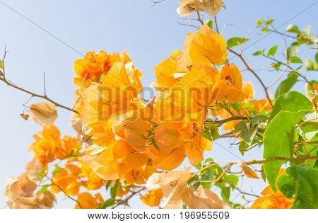 Yellow Bougainvillea flower on blue sky background. Orange yellow Bougainvillea. Beautiful Bougainvillea flower. Bougainvillea for design. Flower on blue sky.