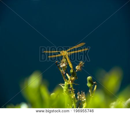 Yellow Dragonfly resting on top of a flowering plant.