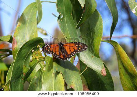 Monarch butterfly resting on a gum tree Eucalyptus branch in an Australian park