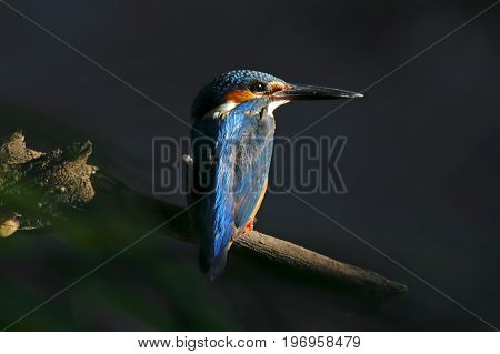 Common Kingfisher Alcedo Atthis Cute Male Birds Of Thailand