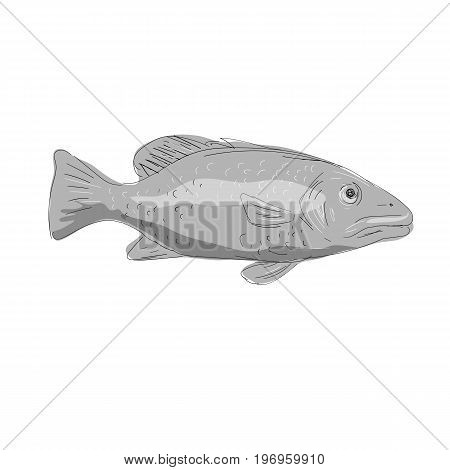 Illustration of a Schoolmaster Snapper Fish viewed from side done in hand sketch Drawing style.