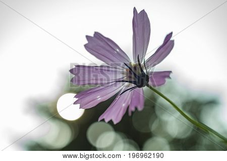 Violet cosmos flower with beautiful bokeh. Cosmos are herbaceous perennial plants or annual plants growing 0.3-2 m (1 ft 0 in-6 ft 7 in) tall. The leaves are simple, pinnate, or bipinnate, and arranged in opposite pairs. The flowers are produced in a capi