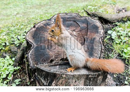 Red Squirrel Sitting In Forest On Stump Of Tree With Nut In Paws