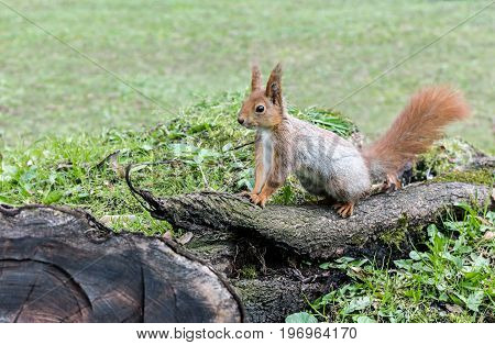 Fluffy Red Squirrel Sitting On Old Tree Log In Forest On Grass Background