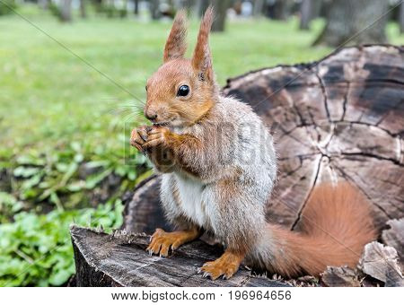 Young Red Squirrel Sitting On Tree Stump In Forest And Eating Nut
