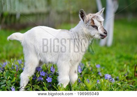 White Baby Goat Standing On Green Lawn With Flowers Periwinkle (vinca Major)