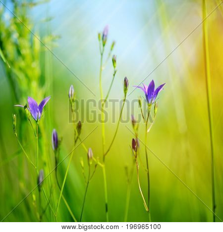 Campanula Flowers (campanula Patula) In Green Grass. Selective Focus, Blurred Background.