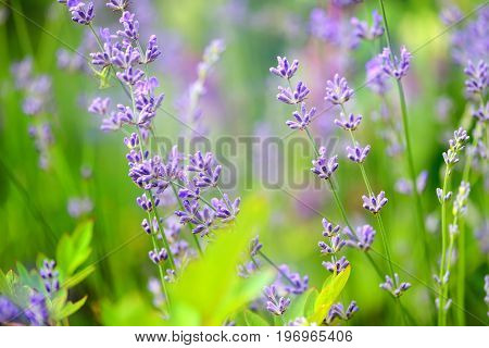 Lavender Flower Field, Image For Natural Background, Selective Focus