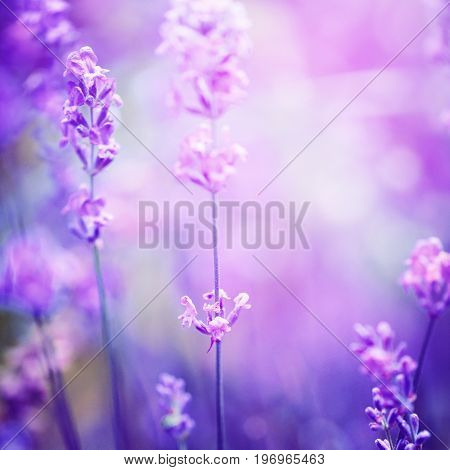 Lavender Flower Field, Image For Natural Background, Selective F
