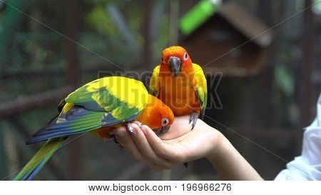 Hand Holding and Feeding Gren and Yellow Parrots - Animal Care Concept.