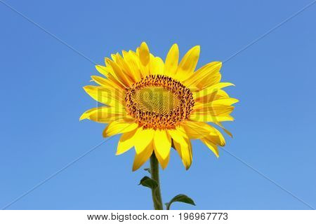 Big sunflowers and bees against the sky and blured background landscape sunflower nature
