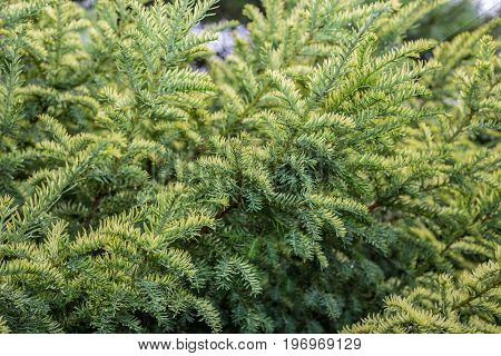 Cultivar creeping juniper Juniperus horizontalis Golden Carpet in the summer rocky garden