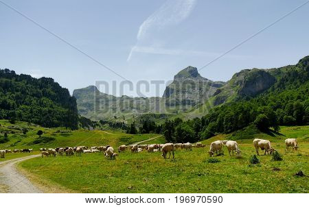 Herd of cows in the alpine pastures the Pic du Midi d'Ossau at the bottom in french Pyrenees