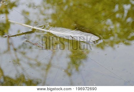 white bird feather fall and floating on water surface in canal