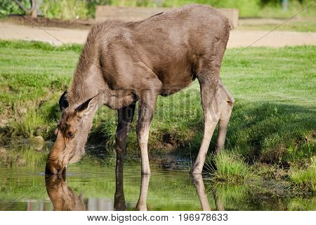 A young moose drinking from a pond in Alaska