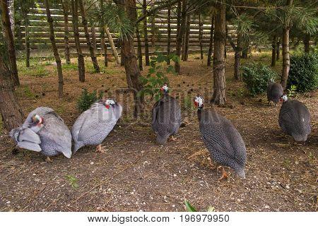 Many Guinea Fowls