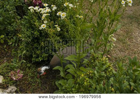 Guineafowl In The Grass