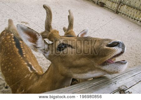 A deer twists and laughs at people