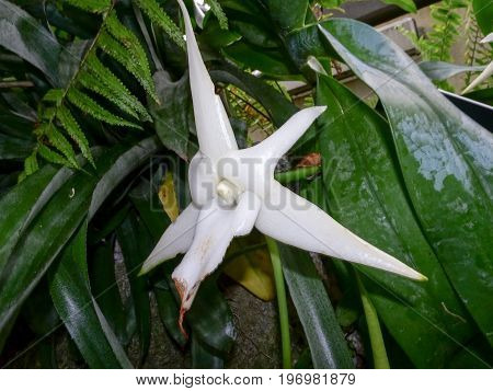 White Star Orchid That Is Rare And Beautiful