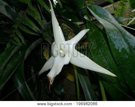Angraecum Sesquipedale - White Star Orchid