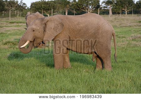African Bush Elephant, Addo Elephant National Park