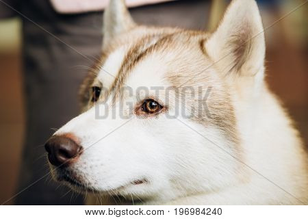 White And Red Adult Siberian Husky Dog Or Sibirsky Husky Close Up Portrait