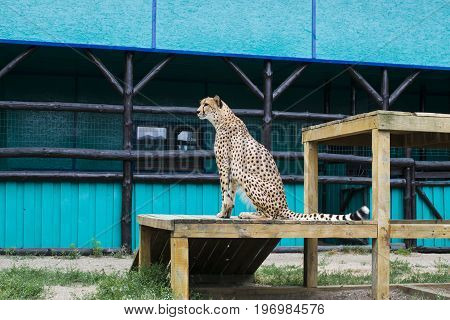 The Cheetah Sits