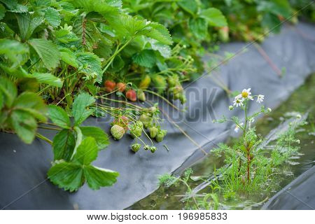 Rows of strawberry plants in a strawberry field after rain. Green bushes. Planting strawberry bushes technology in agriculture.