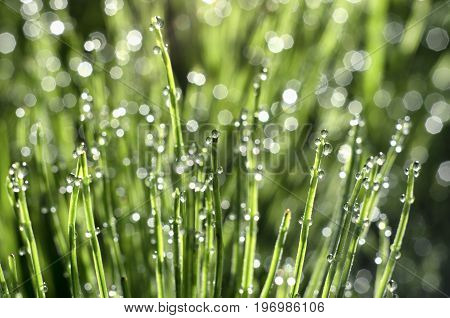 Stems of horsetail with dew drops and bokeh beautiful summer morning