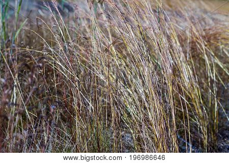 Grass dry and dead it brown in field at Mukdahan Nation Park Thailand