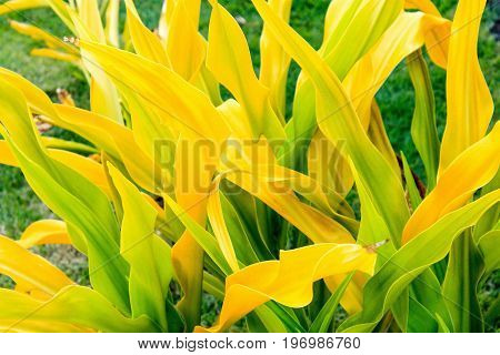 Golden Crinum (Crinum xanthophyllum) is also known as Thai Yellow Crinum and is native to Melanesia