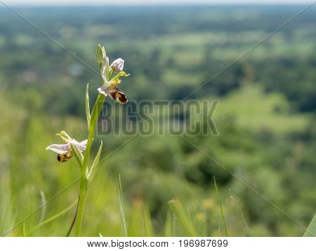 Bee Orchid (ophrys Apifera) On The North Downs Hills Hillside, Surrey, England