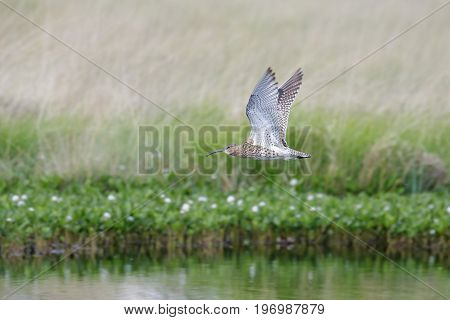 Eurasian Curlew Wader (numenius Arquata) Flying, In Flight Low Over Pond Bog With Cotton Grass Behin