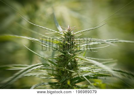 Vintage Cannabis. Top of hemp close-up. Narcotic plants marijuana close-up in vivo