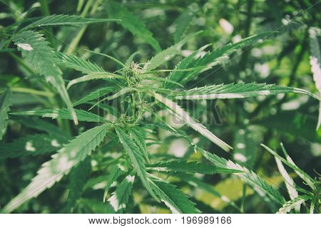 Vintage Cannabis. Top of hemp close-up. Narcotic plants marijuana close-up in vivo.