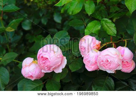 Pink piones rosebuds. Piones roses bushes in the garden. Roses shrubs. Landscaping. Care of garden roses shrubs. Wallpaper for desktop, foto for calendar