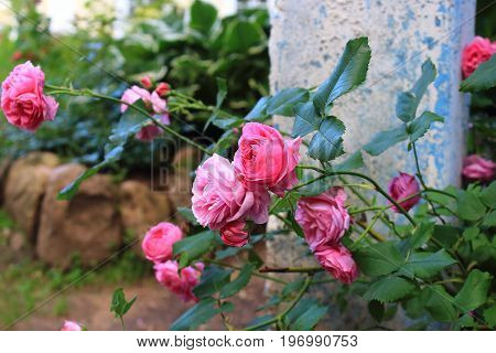 Pink and purple rose bushes in the garden. Roses shrubs. Landscaping. Care of garden roses shrubs. Wallpaper for desktop, foto for calendar